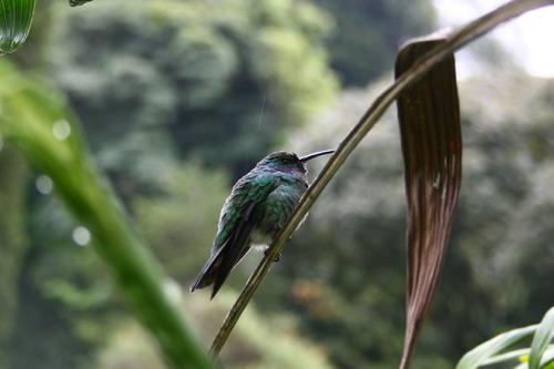 Tropischer Kolibri bei einer Rundreise in Panama
